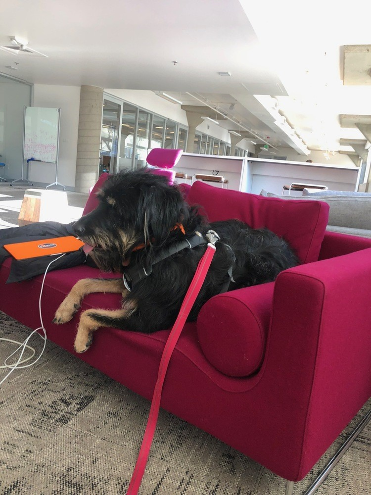 Berkeley the rottweiler mix sitting at coworking space couch