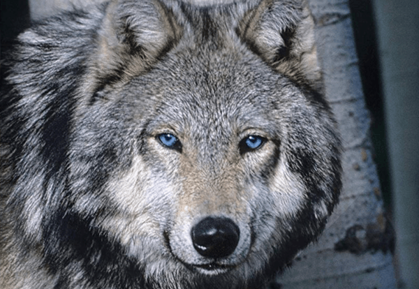 Blue Buffalo Wilderness photo front of bag with wolf