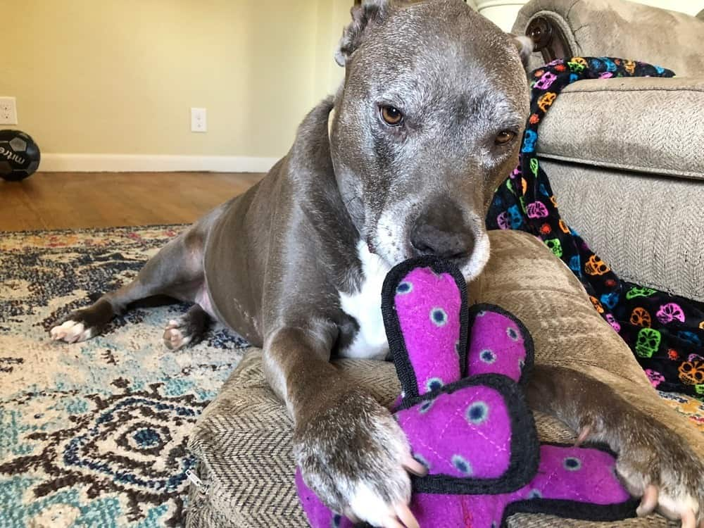 Mac the Pitbull Playing with his indestructible toys